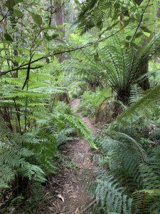 Ferns on Sassafrass Creek Track